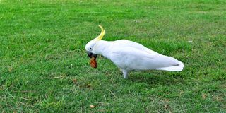 White cockatoo. Walking on the grass Stock Image