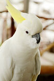 White Cockatoo. Royalty Free Stock Image