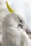 White Cockatoo Stock Image