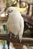 White cockatoo Royalty Free Stock Photos