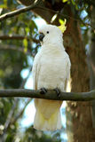 White Cockatoo. Image taken of a white cockatoo sitting a a gum tree branch stock photography