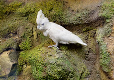 Free White Cockatoo Stock Photo - 77532070