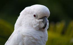 White Cockatoo Stock Photo