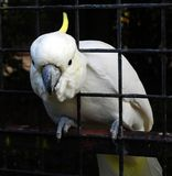 A white cockatoo bird putting its head through the bars of an aviary stock photo