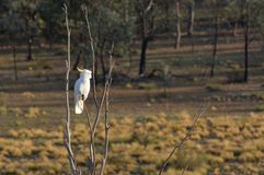 White cockatoo Bird sitting on a tree branch in the outback. Of Canberra Australian Capital Territory Australia stock images