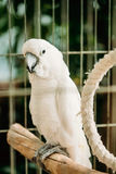 White Cockatoo Or Cacatua Alba, Also Known As The Umbrella Cockatoo Royalty Free Stock Image