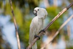 White Cockatoo (Cacatua alba) Stock Photo