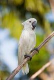 White Cockatoo (Cacatua alba) Stock Photography