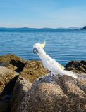 White cockatoo. Cacatua alba on the rocky beach Royalty Free Stock Photography
