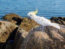 White cockatoo. Cacatua alba on the rocky beach Royalty Free Stock Photos
