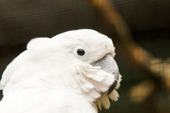 White Cockatoo. The white cockatoo Cacatua alba or umbrella cockatoo.When surprised extends a large and striking head crest, which has a semicircular shape Stock Image