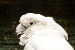 White Cockatoo. The white cockatoo Cacatua alba or umbrella cockatoo.When surprised extends a large and striking head crest, which has a semicircular shape Royalty Free Stock Photography