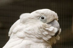 White Cockatoo. The white cockatoo Cacatua alba or umbrella cockatoo.When surprised extends a large and striking head crest, which has a semicircular shape Stock Images