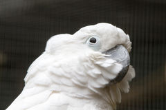 White Cockatoo. The white cockatoo Cacatua alba or umbrella cockatoo.When surprised extends a large and striking head crest, which has a semicircular shape Stock Photo