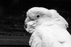 White Cockatoo. The white cockatoo Cacatua alba or umbrella cockatoo.When surprised extends a large and striking head crest, which has a semicircular shape Royalty Free Stock Images