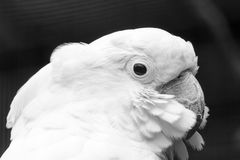 White Cockatoo. The white cockatoo Cacatua alba or umbrella cockatoo.When surprised extends a large and striking head crest, which has a semicircular shape Royalty Free Stock Photos