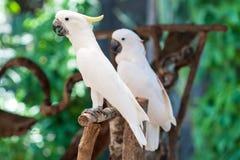 White Cockatoo Stock Photos