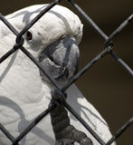 White cockatoo in cage Royalty Free Stock Images