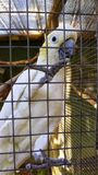 A white cockatoo in captivity. A beautiful adult white and yellow cockatoo in captivity in a wire aviary in south africa royalty free stock photo
