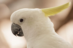 White Cockatoo close up Royalty Free Stock Photos