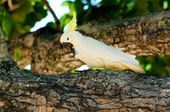 White cockatoo eat on a tree branch Royalty Free Stock Images