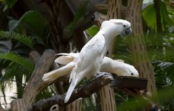 White cockatoo. The white cockatoo is an exotic bird which native to Australia and New Guinea. The beak is in the form of these mites can crack large nuts and Royalty Free Stock Image