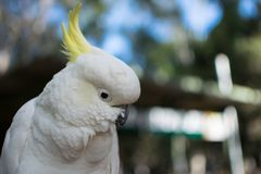 White cockatoo face close up stock photography
