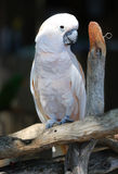 White cockatoo Royalty Free Stock Image