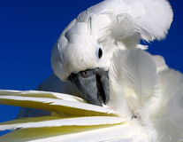White cockatoo grooming itself. With feathers spread wide Royalty Free Stock Photos