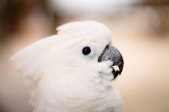 White Cockatoo. Head with blurred background Royalty Free Stock Images