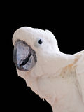 White Cockatoo isolated Stock Images