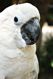 White Cockatoo Parrot Royalty Free Stock Images