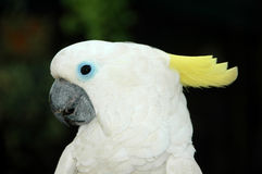 White cockatoo parrot Stock Images