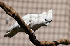 White Cockatoo parrot on a branch Royalty Free Stock Photos