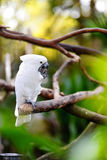 White cockatoo parrot on a branch Royalty Free Stock Photography