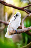White cockatoo parrot on a branch Royalty Free Stock Photo