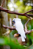 White cockatoo parrot on a branch Royalty Free Stock Image