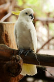 White cockatoo Royalty Free Stock Photo
