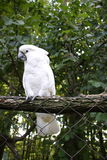 White cockatoo parrot. Resting on fence Stock Image