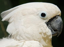 White Cockatoo parrot Stock Image