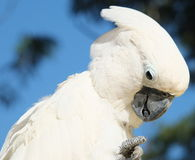 White Cockatoo parrot. Sitting on a branch Stock Photography