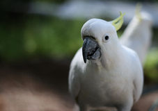 White Cockatoo Portrait Stock Photos