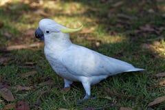 White cockatoo portrait Royalty Free Stock Photos