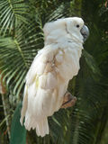 White cockatoo side Stock Photography