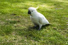 White cockatoo sitting in grass, South Australia. Cockatoo sitting on ground, Kennett River, Great Ocean Road Stock Photo