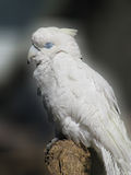 White cockatoo sleeping Royalty Free Stock Photos
