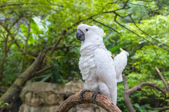 White Cockatoo, Sulphur crested Cockatoo (Cacatua galerita) Royalty Free Stock Images