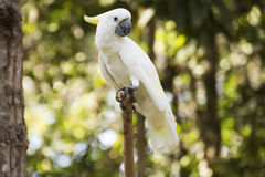 White Cockatoo Royalty Free Stock Images