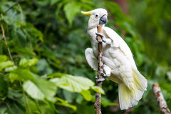 White Cockatoo in tree. White Cockatoo with yellow highlight feathers sitting on tree branch with green foliage forest background. Tropical bird watching Stock Photography