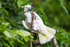White Cockatoo in tree. White Cockatoo with yellow highlight feathers sitting on tree branch with green foliage forest background. Tropical bird watching Stock Image